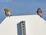 Eastern Bluebirds: Bartow Co., GA