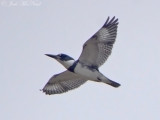 Kingfishers, etc.