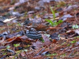 Fox Sparrow: Bartow Co., GA