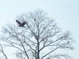 immature Bald Eagle: Bartow Co., GA