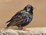 European Starling: Bartow Co., GA