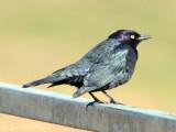 male Brewer's Blackbird: Bartow Co., GA