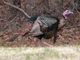Wild Turkey: Bartow Co., GA