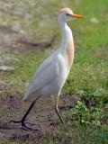 Cattle Egret: Bartow Co., GA