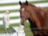 Cattle(?) Egret: Bartow Co., GA
