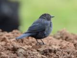 female Brewer's Blackbird with unusual pale iris: Bartow Co., GA