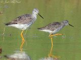Greater and Lesser Yellowlegs: Bartow Co., GA