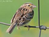 Grasshopper Sparrow: Bartow Co., GA