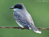 Eastern Kingbird: Bartow Co., GA