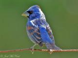 Blue Grosbeak: Bartow Co., GA