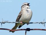 Chipping Sparrow: Bartow Co., GA