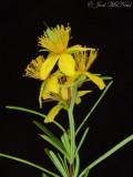 Sandhills St. Johnswort: Hypericum lloydii