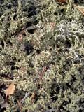 Cup Lichen: Cladonia leporina