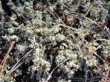 Carolina Cup Lichen: Cladonia caroliniana