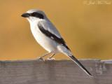 Loggerhead Shrike: Bartow Co., GA