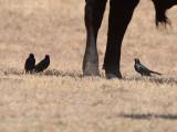 male Brewer's Blackbirds: Bartow Co., GA