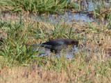 male Rusty Blackbird: Bartow Co., GA