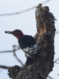 immature Red-headed Woodpecker: Red Top Mt. St. Park, GA