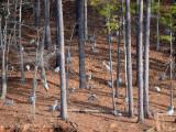 Sandhill Cranes in the woods: Red Top Mt. St. Park, GA