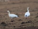 Snow Geese: Bartow Co., GA