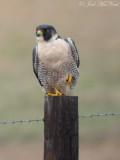 Peregrine Falcon: Bartow Co., GA