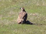 juvenile Bald Eagle on coyote carcass; Bartow Co., GA