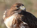 Red-tailed Hawk: Bartow Co., GA