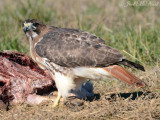 Red-tailed Hawk scavenging deer roadkill: Bartow Co., GA