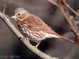 Fox Sparrow: Cobb Co., GA