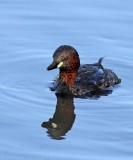 Ducks and Grebes