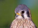 American Kestrel female 2