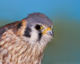 American Kestrel female 1