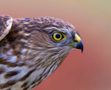 Sharp-shinned Hawk - juvenile male