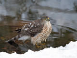 Sharp-shinned Hawk juvenile 3