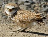 11 BURROWING OWL-JIM BASINGER.jpg