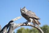 12 GREAT HORNED OWL--JIM BASINGER.jpg