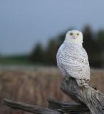 14 SNOWY OWL-JIM BASINGER.jpg