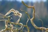 15 SHORT EARED OWL 2-JIM BASINGER.jpg