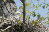 Red-tailed Hawk Chick.jpg