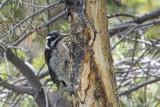 Three-toed woodpecker female.jpg