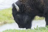 Another Bison shot.jpg