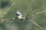Belted kingfisher juvenile.jpg