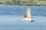 Marbled godwit in flight.jpg