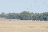Northern Harrier hunting.jpg