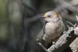 Golden-fronted Woodpecker female.jpg