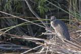Juvenile Yellow-crowned Night-Heron.jpg