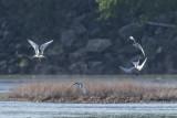 Forster's terns.jpg