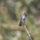 Juvenile Anna's hummingbird.jpg