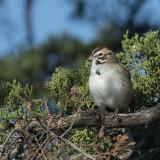 Lark Sparrow.jpg