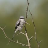 Loggerhead Shrike.jpg
